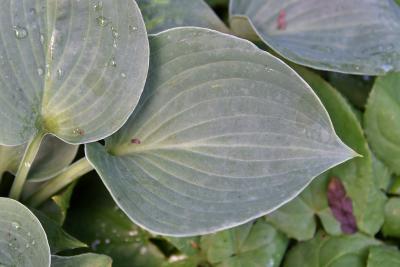 Hosta 'Blue Cadet' (Blue Cadet Hosta), leaf, upper surface