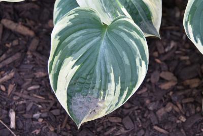 Hosta 'Aristocrat' (PP 11286) (Aristocrat Hosta PP11286), leaf, upper surface