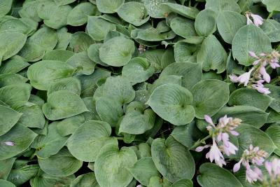 Hosta 'Blue Cadet' (Blue Cadet Hosta), leaf, summer