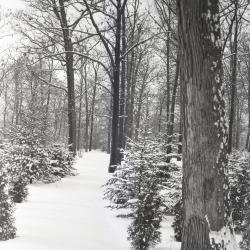 Winter woods with evergreens