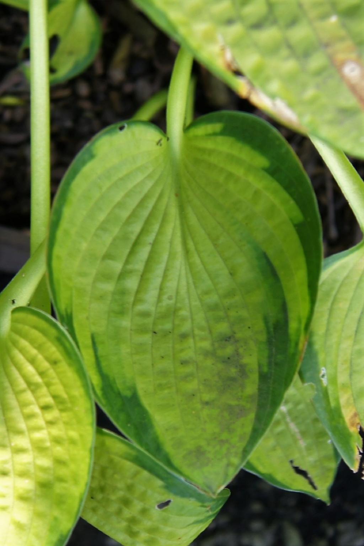 Hosta 'Just So' (Just So Hosta), leaf, summer
