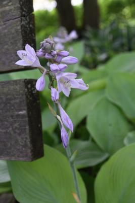 Hosta 'Gold Regal' (Gold Regal Hosta), flower, full