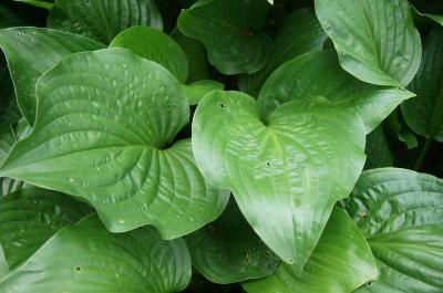 Hosta plantaginea (August-lily), leaf, summer