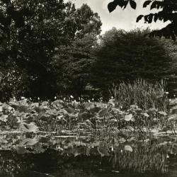 Morton Residence Grounds at Thornhill, lilies in pond