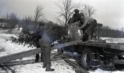 Moving frozen balled evergreens in winter