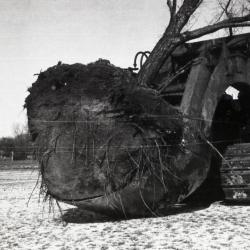 Moving large root balled tree when Route 53 was widened, using Kluckhohn tree moving outfit from Naperville