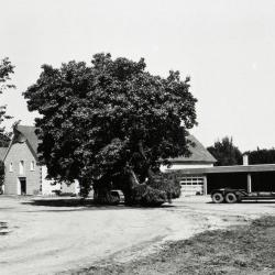 Maple tree moved south of service buildings