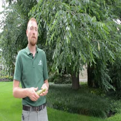 Great Trees Trail: Kentucky Coffeetree