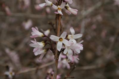 Abeliophyllum distichum 'Roseum' (Pink-flowered White-forsythia), flower, throat