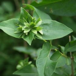Abelia mosanensis (Fragrant Abelia), flower, sepals