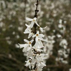 Abeliophyllum distichum (White-forsythia), inflorescence