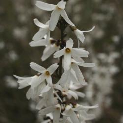 Abeliophyllum distichum (White-forsythia), flower, throat