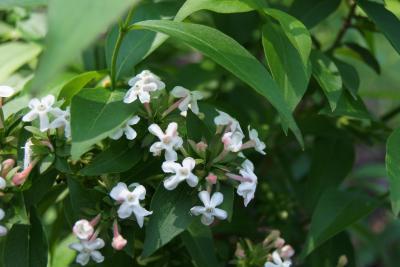 Abelia mosanensis (Fragrant Abelia), inflorescence