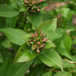 Abelia mosanensis (Fragrant Abelia), bud, flower