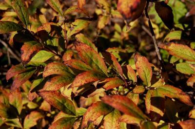 Abelia biflora (Twinflower Abelia), leaf, fall