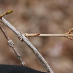 Abeliophyllum distichum 'Roseum' (Pink-flowered White-forsythia), bark, branch
