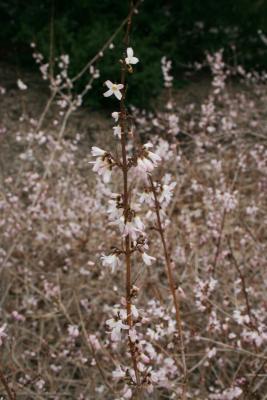 Abeliophyllum distichum 'Roseum' (Pink-flowered White-forsythia), inflorescence