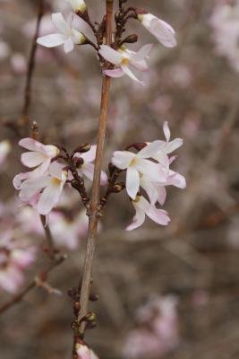 Abeliophyllum distichum 'Roseum' (Pink-flowered White-forsythia), flower, full