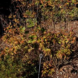 Abelia biflora (Twinflower Abelia), habit, fall