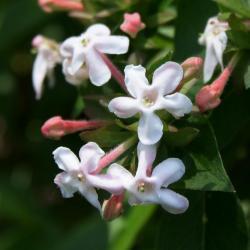 Abelia mosanensis (Fragrant Abelia), flower, full
