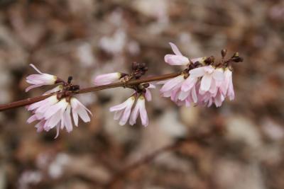 Abeliophyllum distichum 'Roseum' (Pink-flowered White-forsythia), flower, side
