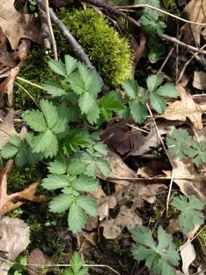 Agrimonia gryposepala (Tall Agrimony), habit, spring