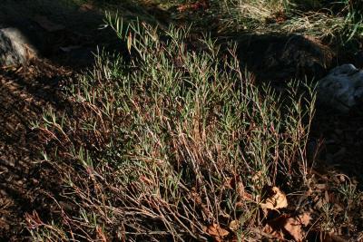 Andromeda polifolia var. latifolia (bog-rosmary), habit, fall