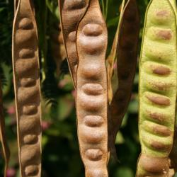 Albizia julibrissin (Silk-tree), fruit, mature