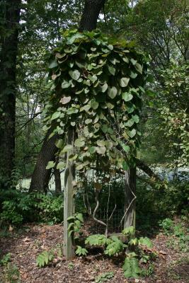 Aristolochia tomentosa (Wooly Dutchman's Pipe), habit, summer
