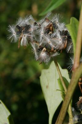 Arnoglossum atriplicifolium (Pale Indian-plantain), fruit, mature