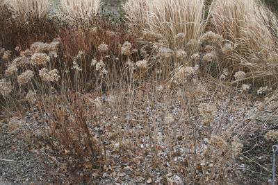 Hydrangea arborescens 'Annabelle' (Annabelle Wild Hydrangea), habit, winter