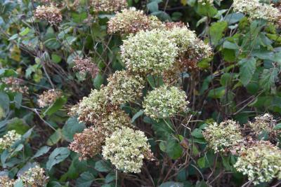 Hydrangea arborescens 'Annabelle' (Annabelle Wild Hydrangea), infructescence