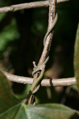 Aristolochia tomentosa (Wooly Dutchman's Pipe), bud, vegetative
