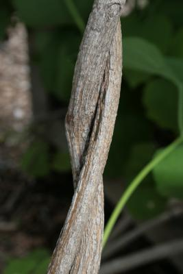 Aristolochia durior (Dutchman's Pipe), bark, mature