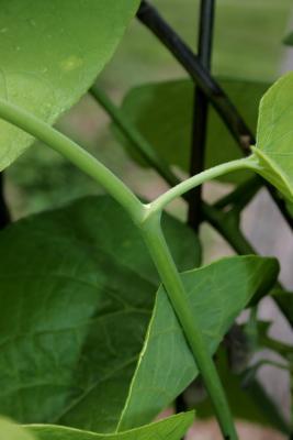 Aristolochia durior (Dutchman's Pipe), bud, lateral