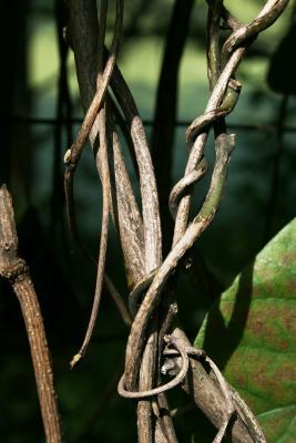 Aristolochia tomentosa (Wooly Dutchman's Pipe), bark, twig