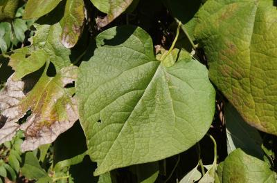 Aristolochia manshuriensis (Manchurian Pipe Vine), leaf, upper surface
