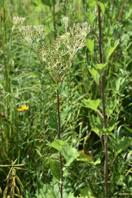 Arnoglossum atriplicifolium (Pale Indian-plantain), inflorescence