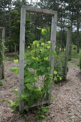 Aristolochia durior (Dutchman's Pipe), habit, spring