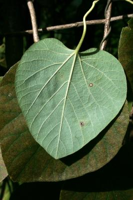 Aristolochia tomentosa (Wooly Dutchman's Pipe), leaf, lower surface