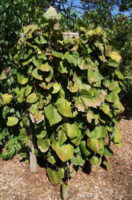 Aristolochia manshuriensis (Manchurian Pipe Vine), habit, summer