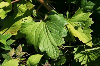 Arnoglossum atriplicifolium (Pale Indian-plantain), leaf, upper surface