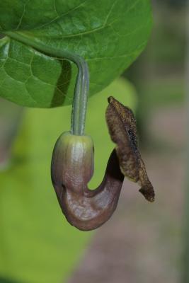 Aristolochia durior (Dutchman's Pipe), flower, side