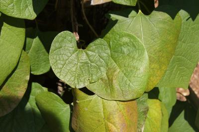 Aristolochia manshuriensis (Manchurian Pipe Vine), leaf, summer