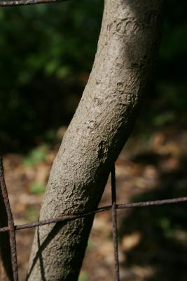 Aristolochia tomentosa (Wooly Dutchman's Pipe), bark, mature