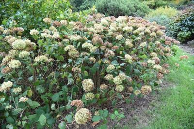 Hydrangea arborescens 'Annabelle' (Annabelle Wild Hydrangea), habit, fall