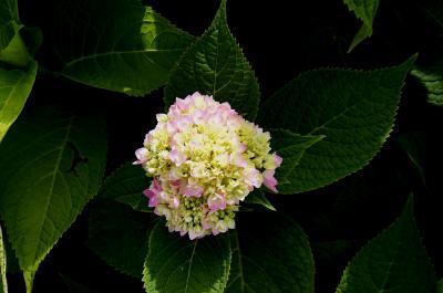Hydrangea macrophylla 'Bailmer' (ENDLESS SUMMER, PP15298) (THE ORIGINAL® ENDLESS SUMMER® series Big-leaved Hydrangea PP15298), inflorescence