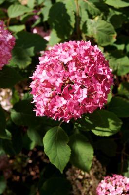 Hydrangea arborescens 'PIIHA, I' (BELLA ANNA, PP21227) (BELLA ANNA™ ENDLESS SUMMER® series Wild Hydrangea PP21227), inflorescence