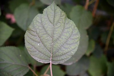 Hydrangea arborescens 'Dardom' (PP 14168) (WHITE DOME® Wild Hydrangea PP14168), leaf, upper surface