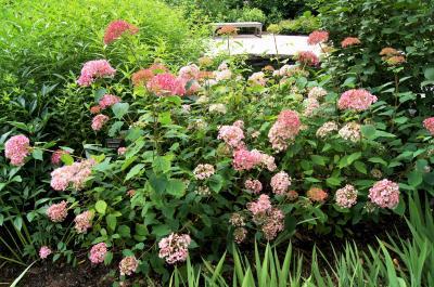 Hydrangea arborescens 'PIIHA, I' (BELLA ANNA, PP21227) (BELLA ANNA™ ENDLESS SUMMER® series Wild Hydrangea PP21227), habit, summer